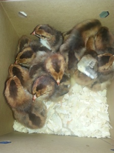 Speckled Sussex chicks on the ride home!