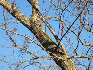 Maple tree with first buds of spring!