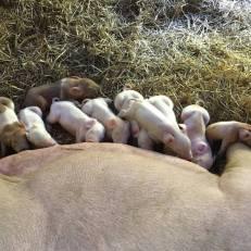 Piglets 0616