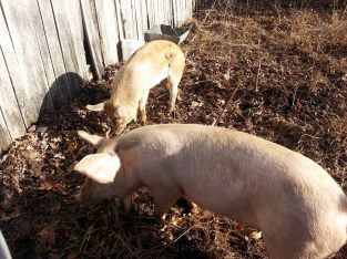 Pigs 2015